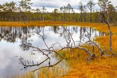 bogs: Beautiful bare trunks near swamp lake, autumn season. Viru bogs at Lahemaa national park