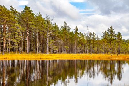 turba: Reflexión hermosa de los árboles de pino en el lago del pantano, estación del otoño. Viru en el Parque Nacional Lahemaa