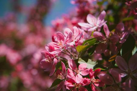 crab apple tree: Flourish pink Chinese flowering crab apple flowers. Toned photo Stock Photo