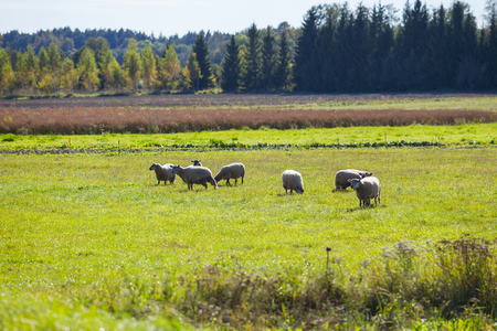 Green meadows with sheep grazing. Saaremaa island, Estonia.
