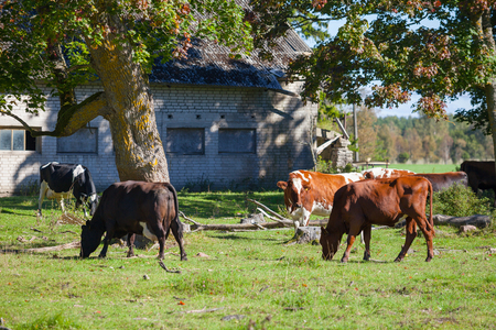 Cows grazing in green summer pasture. Northern Europe, trees at the background.
