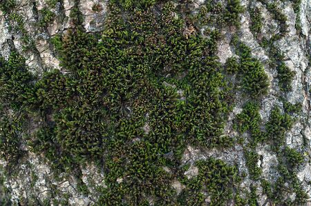 Natural Gray Old Tree Bark with lush Green Moss and Lichens Stok Fotoğraf