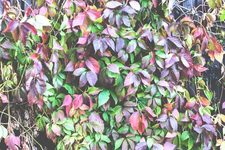 Colorful leaves of climbing plant or grapes or Ivy, Natural plant toned background