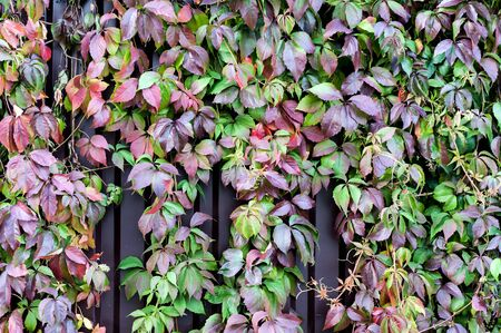 Colorful leaves of climbing plant or grapes or Ivy, Natural plant background Stok Fotoğraf