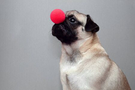 a small pug dog with a red clown nose.