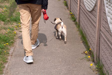 Owner and pug dog walking on a leash in city on unfocused background
