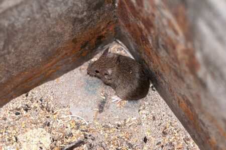 Caught a scared field mouse in a metal box is trying to get out and run.