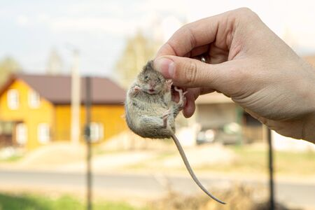 Man hand hanging and showing caught field or house mouse. mouse in panic breaks out and tries to bite a finger