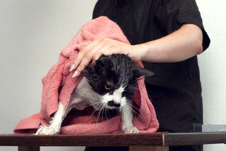 Wiping the cat with a towel, after bathing. grooming in a beauty salon for animals Imagens