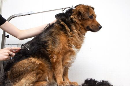Grooming a large dog with a trimmer. Removal of excess hair in pets. Shedding and combing Imagens