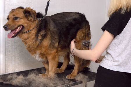 Cute big dog stay on the table and Grooming master cuts and shaves, cares for a dog. Grooming animals, drying and styling dogs, combing wool.