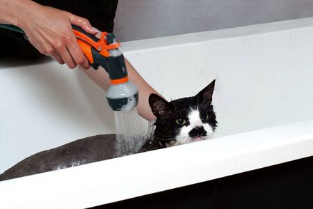 A woman washes a displeased cat under a shower in a beauty salon for animals. Dissatisfied and angry cat washes in the bathroom