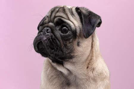 beige dog pug female close up. portrait on pink background