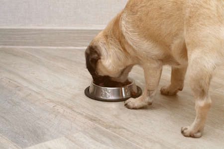 hungry pug dog eating dry feed from his bowl. balanced pet diet