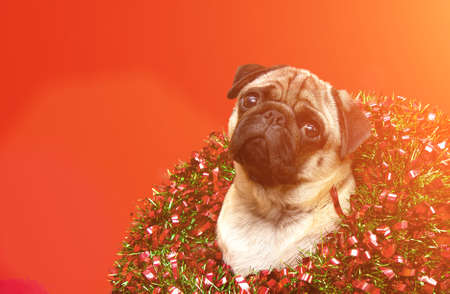 christmas dog pug with christmas wreath on christmas holidays. layout with cute pet and copy space