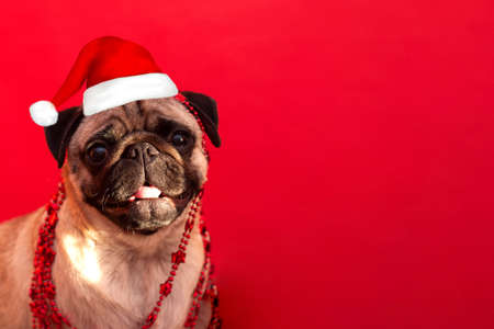 christmas pug dog with hat santa claus on red background with copy space