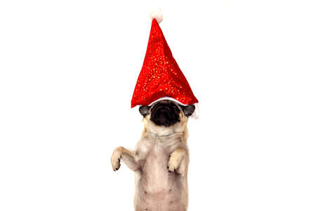 christmas pug dog with hat santa claus on white background with copy space and place for text