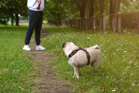 Dog pug lagging behind refuses to walk and drags leash in opposite way