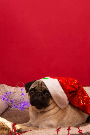christmas pug dog with garland and hat santa claus in bed on christmas holidays with copy space