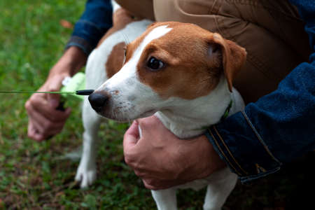 Person combs jack russell terrier dog with a metal grooming comb. seasonal molting of pets and removal of excess undercoat by the owner