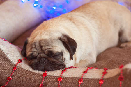 christmas pug dog with garland and hat santa claus in bed on christmas holidays, close up
