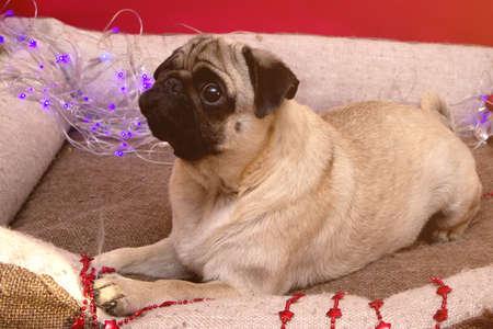 christmas pug dog with garland in bed on christmas holidays