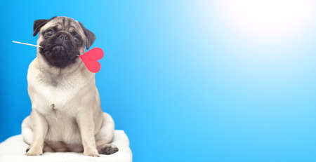 A lover pug dog holding a red heart in mouth on blue background. banner with copy space