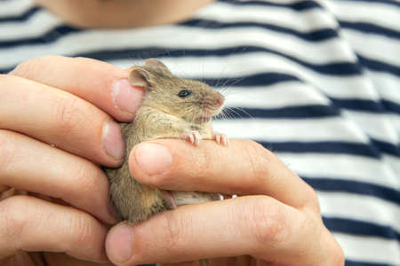 man holds a caught field mouse in his hands. little scared rodent in the hands of a man
