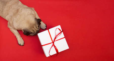 Pug dog lying on red background with white celebration box with red ribbon. gift and congratulations for pets. flat lay with copy space