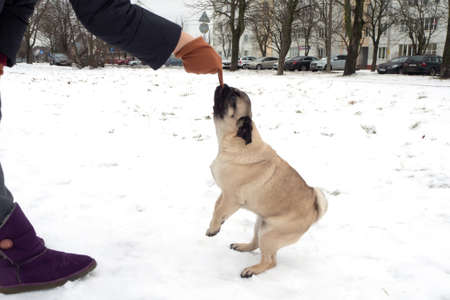 Pug dog playing tug holding a soft glove in his mouth and pulling with a human. Playing with dog winter outside Foto de archivo