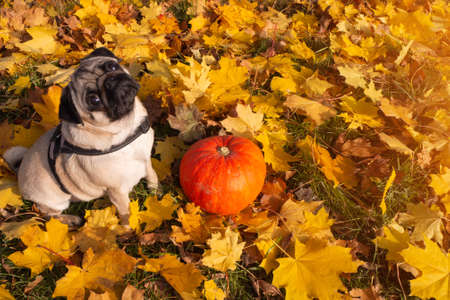 Autumn concept with adorable pug dog and pumpkin. colorful dry leaves Foto de archivo