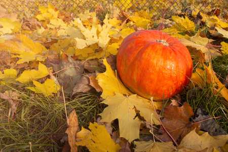 Autumn concept with adorable old pug, colorful dry leaves of october and pumpkins. High quality photo