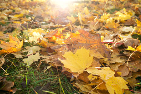 Falling maple leaves of autumn tree on ground with sunlight Foto de archivo