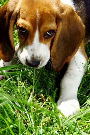 funny beagle puppy in the park photo