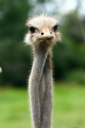 south african birds: Beautiful ostrich at the farm