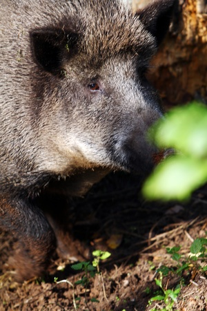 Wild boar in forest photo
