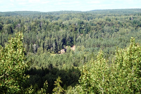 Panoramic view of beautiful coniferous forest