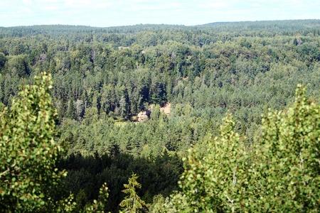 larix sibirica: Panoramic view of beautiful coniferous forest