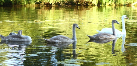 Swan family on the river photo