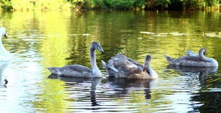 Swan family on the river Stock Photo - 10756349