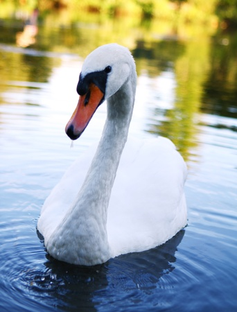 Beautiful white swan on the river photo
