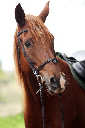 cabeza caballo: Hermoso caballo marr�n en la granja Foto de archivo