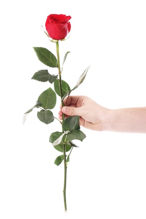 Red rose in hands over white background photo