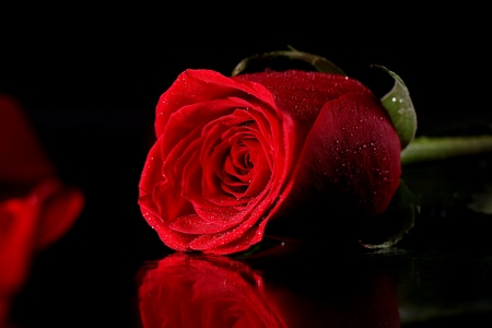 Close up of red rose in darkness photo