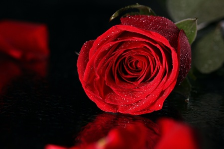 velvety: Close up of red rose in darkness