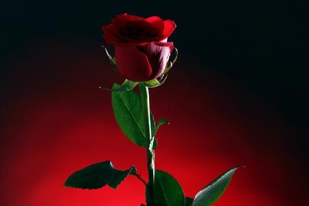 afecto: Cerca de la rosa roja en la oscuridad Foto de archivo