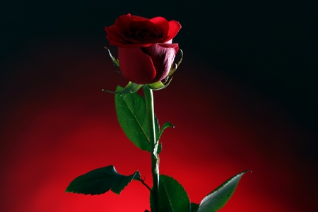 affection: Close up of red rose in darkness