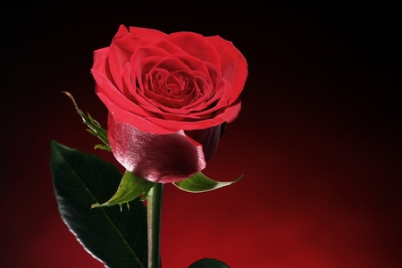 Close up of red rose in darkness Stock Photo - 12104124