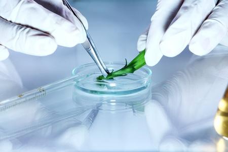 genetica: Esperimento scientifico con foglie delle piante in laboratorio