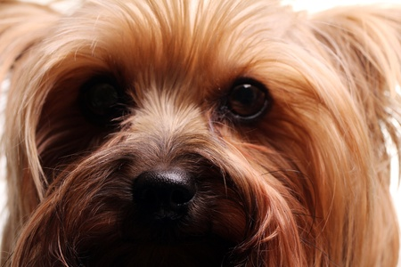 Cute yorkshire terrier over white photo
